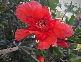 انتظار شکوفههای انار